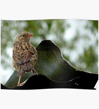 I'm  Out The Nest, Where Is Everyone! - Baby Dunnock Hedge Sparrow Poster
