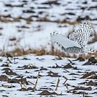 Snowy Owl 2014 6 by Thomas Young