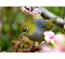 Get Serious! - Silvereye - NZ Photographic Print