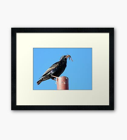 The Early Bird Catches The Worm - Starling Framed Print
