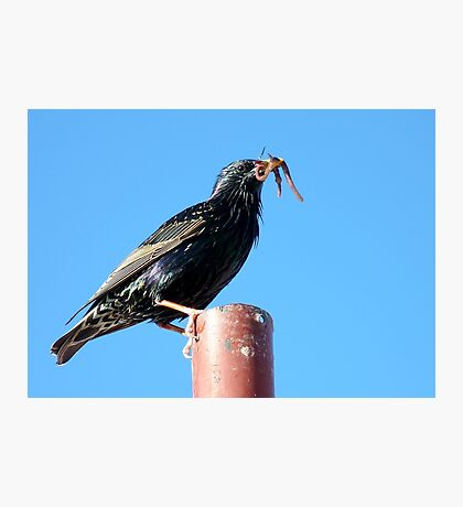 The Early Bird Catches The Worm - Starling Photographic Print