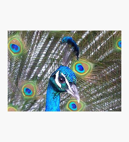 Iridescent Feathers! - Peacock NZ Photographic Print