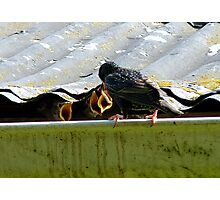 Open Wide,  Lunch is Served! - Starlings - NZ Photographic Print