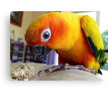 This Pumpkin Stalk Is Tasty! - Sun Conure - NZ Canvas Print