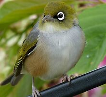 Beauty Is In The Eye Of The Beholder! - Silvereye - NZ by AndreaEL