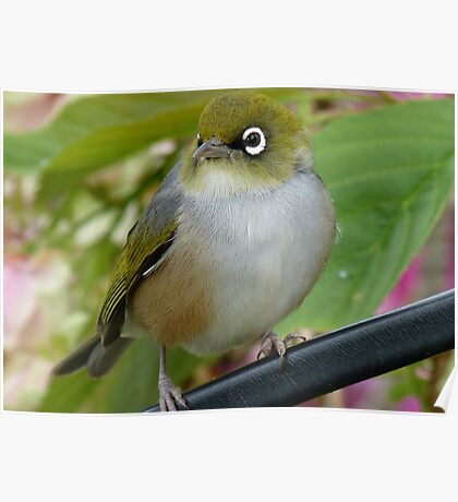 Beauty Is In The Eye Of The Beholder! - Silvereye - NZ Poster
