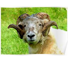 Head Gear! - Merino  - Sheep - NZ Poster