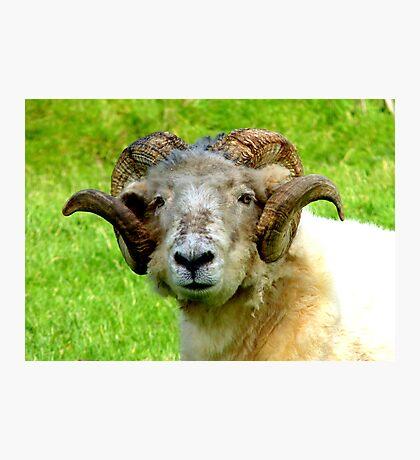 Head Gear! - Merino  - Sheep - NZ Photographic Print