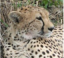Cheetah Face Photographic Print