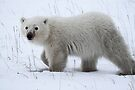 Polar Bear Cub by Carole-Anne