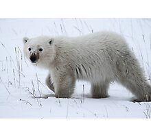 Polar Bear Cub Photographic Print