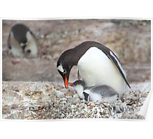 Gentoo Penguin Feeding Chick Poster
