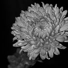 Chrysanth mono by HelenRobinson