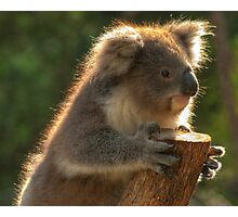 Young Koala Photographic Print