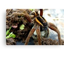 Do You Think My Eye Brows Need A Trim - Raft Spider - NZ Canvas Print