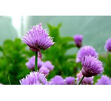 Chive Flower! - Chive - NZ Photographic Print