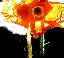 Natures Fire works! - Poppy & Dandelion - NZ by AndreaEL