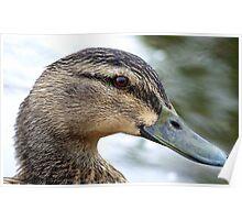 Do I Know You! - Male Mallard Duck - NZ Poster