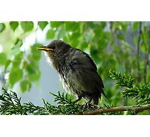 We have Fledged! - Starling - NZ Photographic Print
