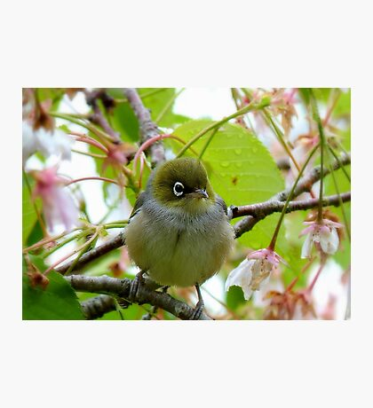 The Branch Manager! - Silvereye - NZ Photographic Print