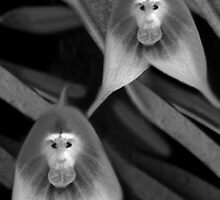 *•.¸♥♥¸.•* MONKEY ORCHID *•.¸♥♥¸.•* by ✿✿ Bonita ✿✿ ђєℓℓσ