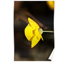 Mexican Tulip poppy flower photography  Poster