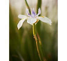 Iris in bloom flower photography Photographic Print