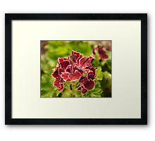 Pelargonium botanical photography Framed Print