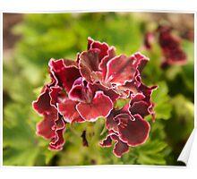 Pelargonium botanical photography Poster