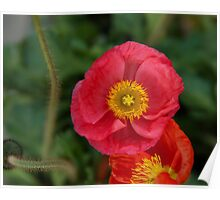 Little pink Iceland Poppy flower photography Poster