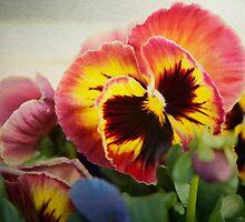 Dark pinkish red pansy by SammyPhoto