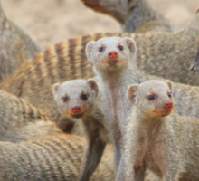 Banded Mongoose - Band of Brothers and Sisters Sticker