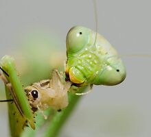 Hungry Mantis by zingarostudios