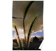 Sun Kissed Grasses - Grass Seeds - NZ Poster