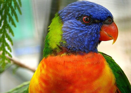 I Am An Eye Catcher.. That Nobody Can Deny!! - Rainbow Lorikeet - NZ by AndreaEL