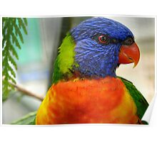 I Am An Eye Catcher.. That Nobody Can Deny!! - Rainbow Lorikeet - NZ Poster
