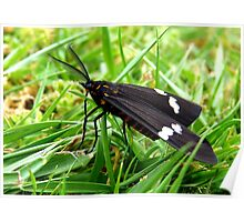 Flying Clouds!  - Magpie Moth - NZ Poster