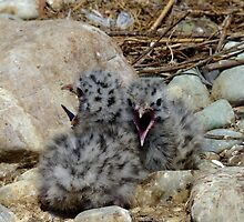 Who Can Yell Louder! - Baby Seagulls - NZ by AndreaEL