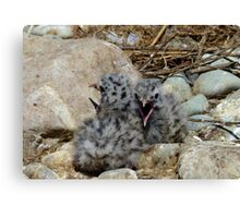 Who Can Yell Louder! - Baby Seagulls - NZ Canvas Print