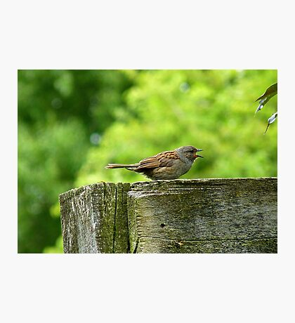 I Sing Because I Have A Song! - Dunnock Sparrow - NZ Photographic Print