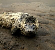 Baby Seal by Chris Popa