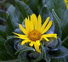 Yellow Tundra Flower by Chris Popa