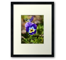 Blue and yellow pansy flower Framed Print
