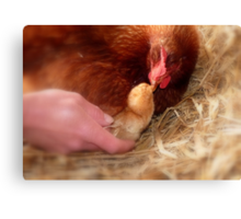 Legal Adoption! - Chickens - NZ Canvas Print