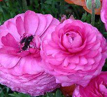 Ranunculus, Toowoomba Garden Qld Australia by Sandra  Sengstock-Miller