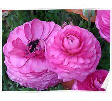 Ranunculus, Toowoomba Garden Qld Australia Poster