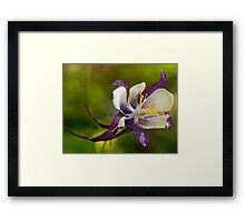 Purple and white aquilegia flower  Framed Print