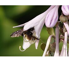 Bumble Bee in Hosta Photographic Print