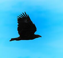 Eagle Silhouette in Flight - Profile of Power by LivingWild
