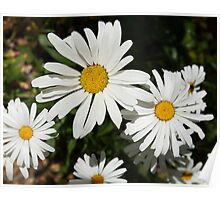 White daisy flower photography Poster